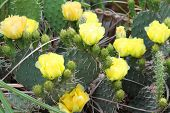 image of xeriscape  - Blooming Prickly Pear or Paddle cactus with yellow flowers - JPG