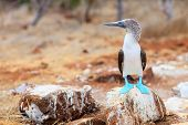 stock photo of booby  - Blue footed booby at Galapagos island of  North Seymour - JPG