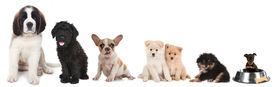 stock photo of lineup  - Lineup of 5 Different Breeds of Puppy Dogs on White - JPG