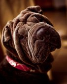 foto of cute dog  - A cute pet dog Shar Pei breed - JPG