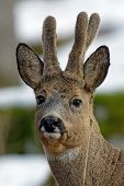 stock photo of roebuck  - A closeup of a beautiful roebuck with his new antlers which still are covered with velvet Uppland Sweden - JPG
