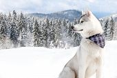 stock photo of husky  - purebred husky in snow with a scarf around his neck - JPG
