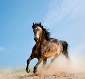 stock photo of dapple-grey  - wild dappled bay stallion in a dust running - JPG