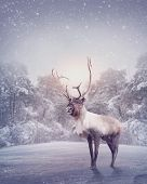 stock photo of rudolf  - Reindeer standing in the snow in the forest - JPG