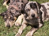 stock photo of catahoula  - Louisiana Leopard Catahoulas - JPG