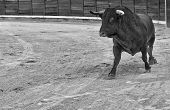 pic of bullfighting  - Bull running at the begining of the bullfight - JPG