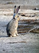 stock photo of anza  - A Black-tailed Jackrabbit in the Anza-Borrego Desert of Southern California
