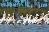 Pink-backed Pelican Soars Past A Squadron Of Preening White-backed Pelicans