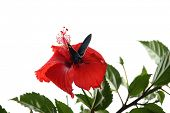 picture of hibiscus  - An insect collecting pollen on a hibiscus on white background - JPG