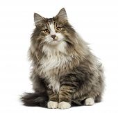 Norwegian Forest cat sitting, isolated on white