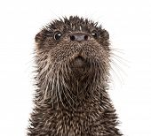 stock photo of aquatic animal  - European otter - JPG