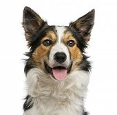 picture of collie  - Close - JPG