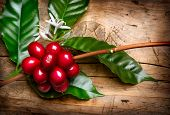 Coffee Plant. Red coffee beans and flower on a branch of coffee tree. Branch of a coffee tree with r