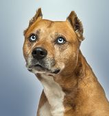 image of american staffordshire terrier  - Close - JPG