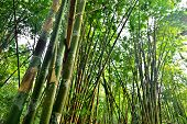 stock photo of glorious  - bamboo forest with glorious morning sunshine background - JPG
