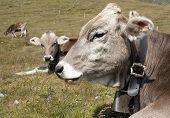 pic of cow head  - head of cow  - JPG