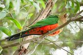 picture of king parrot  - Curious Australian King - JPG