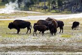 picture of female buffalo  - Horizontal image of young North American Buffalo showing affection towards her mother buffalo with herd and hot springs in background within Yellowstone Park - JPG