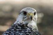 image of falcons  - beautiful white falcon with black and gray plumage - JPG