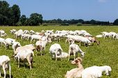 picture of goat horns  - goats play and eat on the meadow - JPG