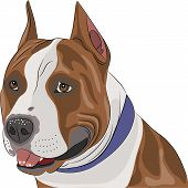 picture of american staffordshire terrier  - american staffordshire terrier with a collar around his neck - JPG