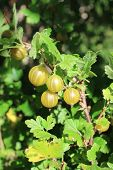 image of villi  - Yellow berries gooseberries on a branch in a garden - JPG