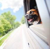 picture of bull-riding  -  a boxer pit bull mix dog riding in a car  - JPG