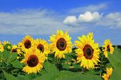 pic of horticulture  - helianthus annuus horticulture sunflower field for self cutting - JPG