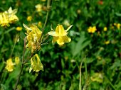 picture of columbine  - Yellow Columbines hang in front of blurred green background - JPG
