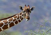 stock photo of herbivores  - African Giraffes in Samburu National Park - JPG