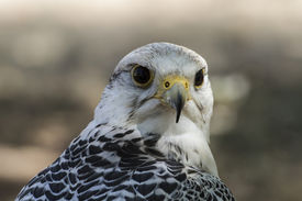 stock photo of falcons  - beautiful white falcon with black and gray plumage - JPG