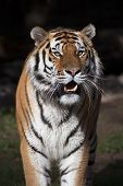 pic of dread head  - Closeup bright sunny portrait of a dreadful Siberian tiger - JPG