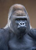 pic of gorilla  - Portrait of a gorilla male - JPG