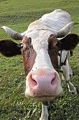 picture of cow head  - Head of cow - close up view on it ** Note: Visible grain at 100%, best at smaller sizes - JPG