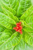 image of cockscomb  - Red plumed cockscomb flower closeup in garden - JPG