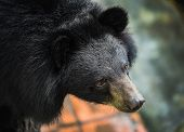 picture of bear  - Asiatic black bear Tibetan black bear Ursus thibetanus large tropical asian bear with black fur and white V shape fur on the bust - JPG