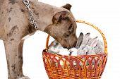 foto of pitbull  - Dog breed pitbull sniffing rabbits sitting in a basket - JPG