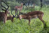 picture of deer family  - A portrait of a beautiful male impala ram - JPG