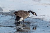 image of snow goose  - Canada Goose breaking through some thin skim ice as it makes it - JPG