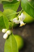 image of lime-blossom  - close up of lime with lime blossom - JPG
