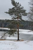 picture of bohemia  - A lonely tree in a snowy landscape South Bohemia Czech Republic - JPG