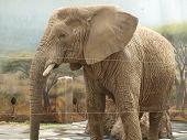 stock photo of bohemia  - Elephant in the inner enclosure eastern Bohemia  - JPG