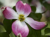 stock photo of dogwood  - This is the pink and white bloom of a spring blooming dogwood tree - JPG