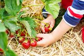 pic of strawberry blonde  - Hands of little child picking strawberries on organic pick a berry farm in summer on warm day - JPG
