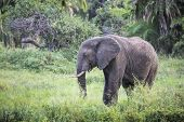 stock photo of sub-saharan  - African elephant in the Tarangire National Park Tanzania - JPG