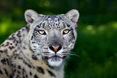 stock photo of panthera uncia  - A closeup of a snow Leopard looking at the camera - JPG
