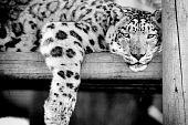 pic of panthera uncia  - A black and white photo of a male snow leopard - JPG