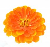 picture of zinnias  - orange zinnia flower isolated on white background