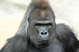 pic of gorilla  - Bust portrait of a gorilla male severe silverback on rock background - JPG
