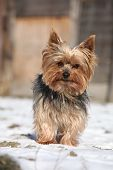 image of yorkshire terrier  - Beautiful Yorkshire Terrier standing on snow in winter - JPG